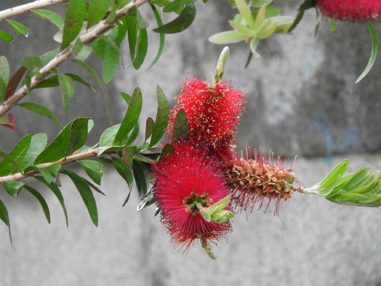 金宝樹(ブラシノキ)散策路 180524撮影