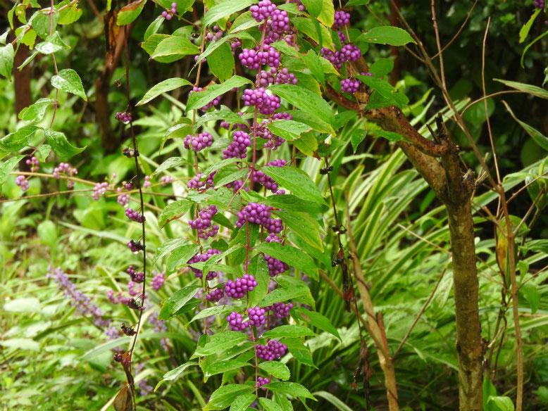 紫式部の花実(むらさきしきぶ) 散策路 180930撮影