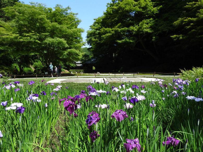 花菖蒲(はなしょうぶ) 北鎌倉明月院 170602撮影
