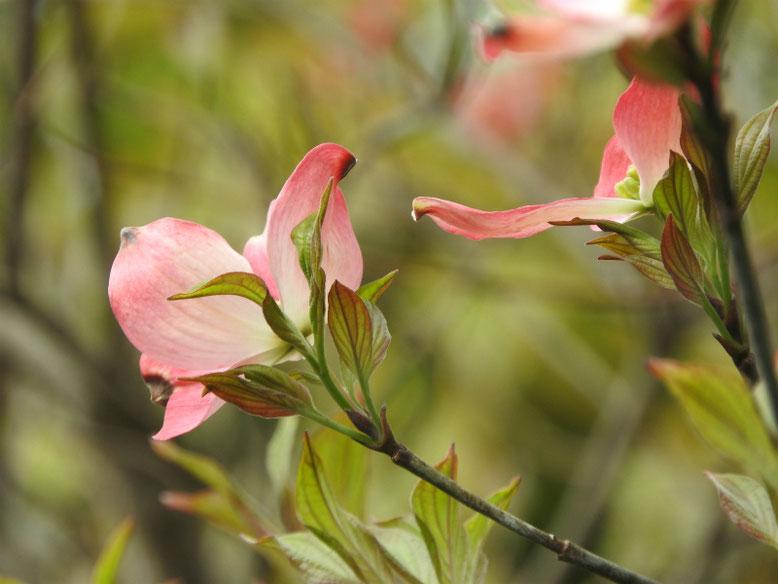 花水木(はなみずき) 散策路 170424撮影