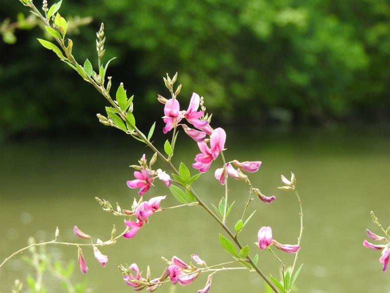 萩の花(はぎ) 三溪園 160617撮影