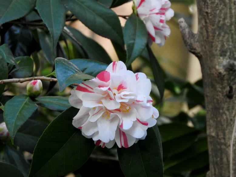 春山茶花(はるさざんか) 散策路 180317撮影