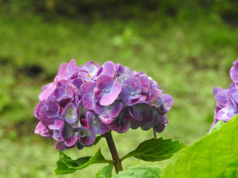 紫陽花(あじさい) 自宅庭 160609撮影