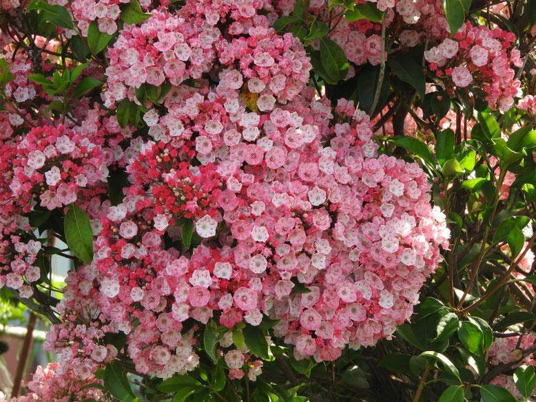 カルミア(アメリカ石楠花) 散策路 180517撮影