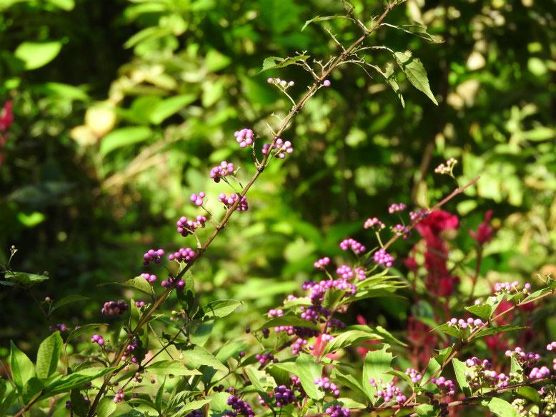 紫式部の実(むらさきしきぶ) 浄智寺 170919撮影