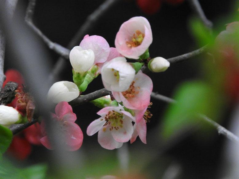 木瓜の花(ぼけ)更紗 散策路 160402撮影