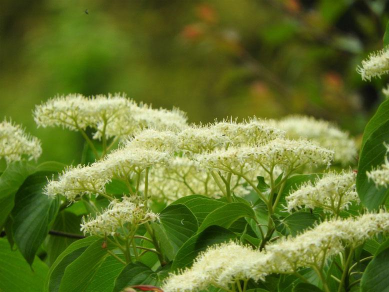 水木の花(みずき) 散策路 180423撮影
