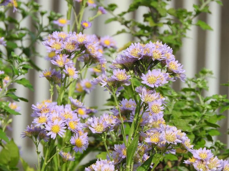 紫苑(しおん) 散策路 161014撮影