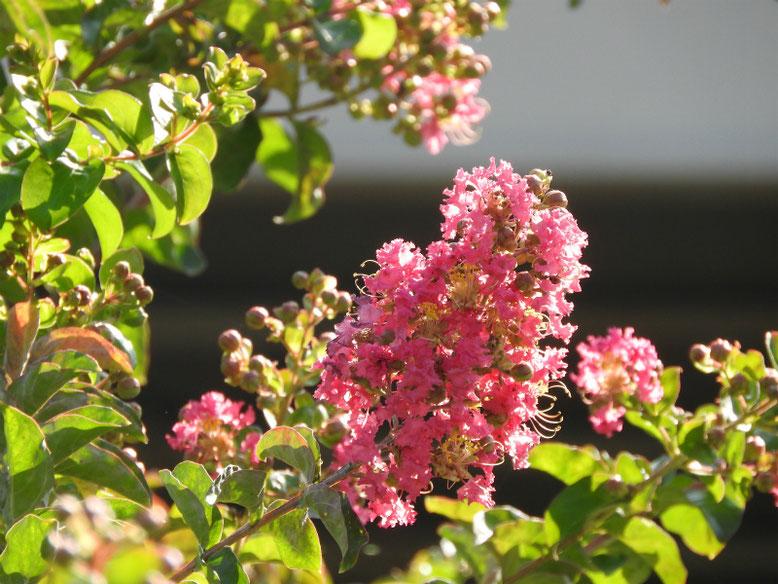 百日紅(さるすべり)ピンク 散策路 170715撮影