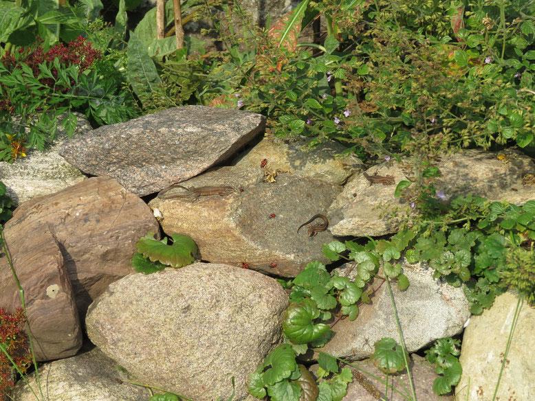 Gibt es Eidechsen in der Nähe, so werden die Legesteinmauern schnell besiedelt.