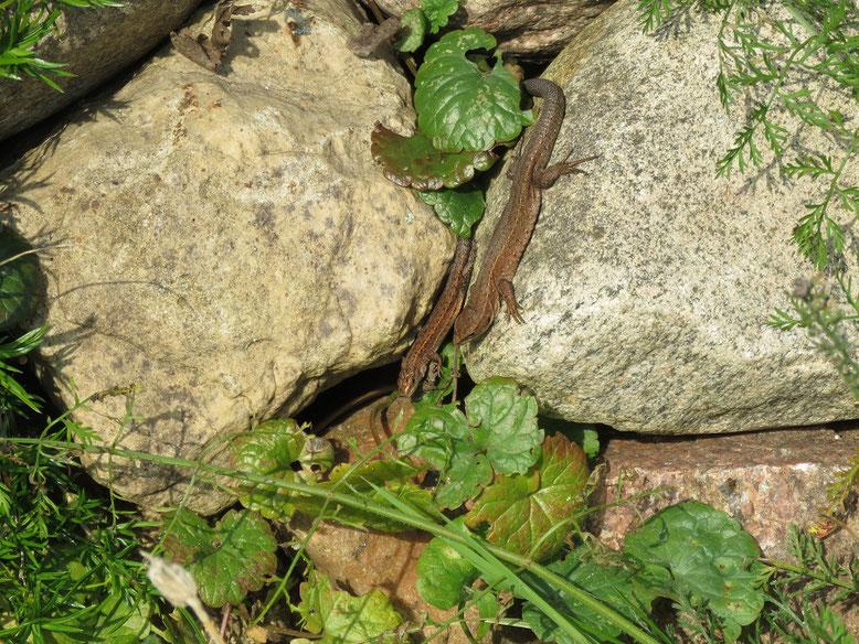 Waldeidechsen sonnen sich auf der Trockenmauer.