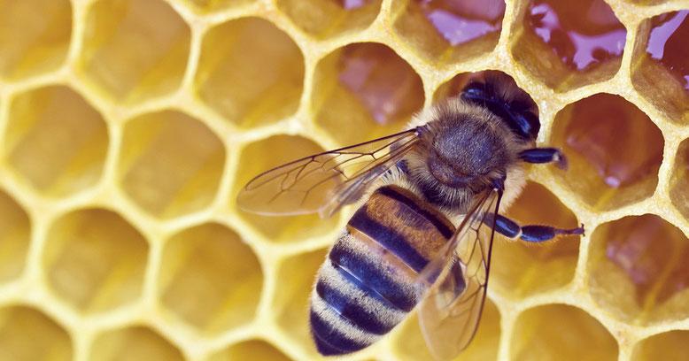 """... hier lagern wir den Honig. Wenn alles passt, """"schwitze"""" ich Wachs und verschließe die Waben damit. Fertig! Weil der Imker das ganze Jahr über auf uns Acht gibt, kann er sich jetzt seinen Anteil holen!"""