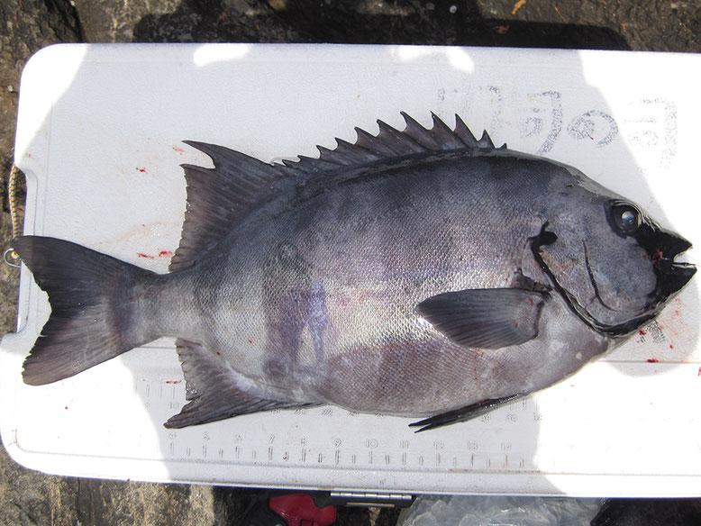 いつもの様に同じ魚を入れたり出したりしてニヤニヤしてる…。同じ魚を何度撮るんや!!