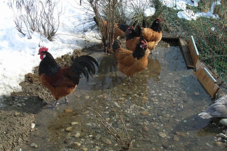 Hühner bei der Kneipp-Kur