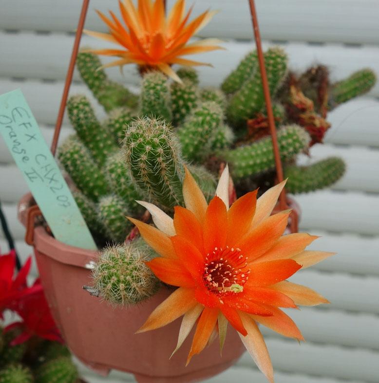 Ch orange Blüte, helle Hüllenblätter, grüner Stempel