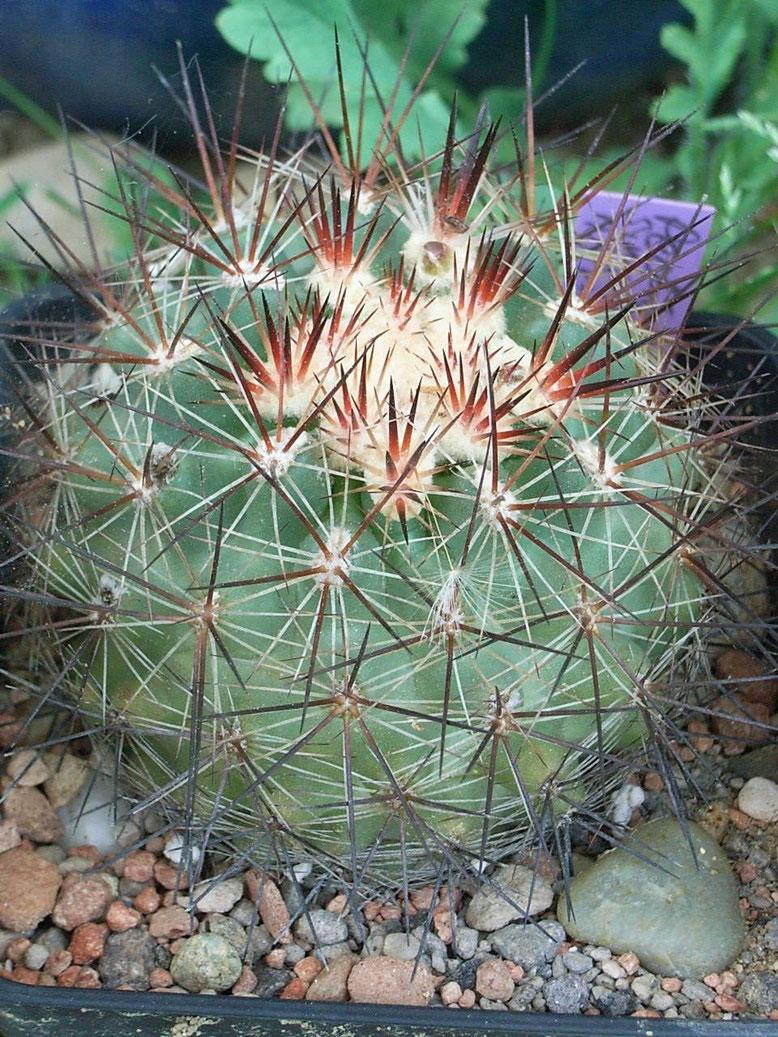 Pediocactus simpsonii v nigrispinus