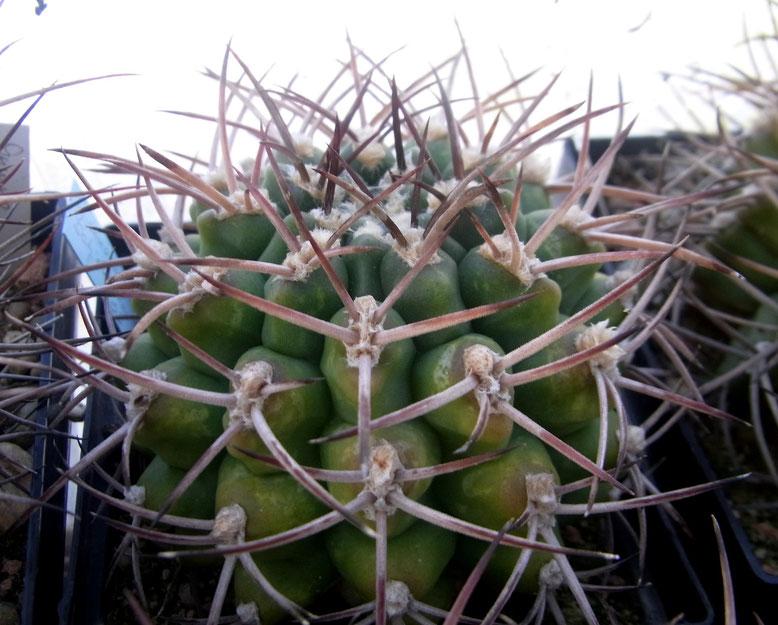 Gymnocalycium schickentanzii, ältere Pflanze, gut 7cm Ø, 7,50€