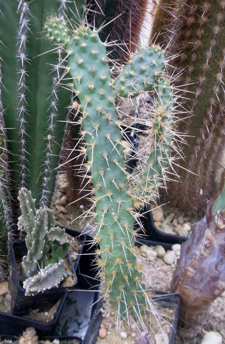 Consolea millesphaughii, Höhe ca 24cm, bewurzelter Steckling. Die Dornen werden in der Sonne rot, bzw bekommen rote Spitzen. ---Rarität!--- Pflege ähnlich Brasiliopuntia, 3€