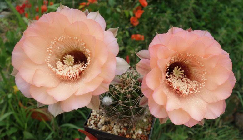 EH English Rose