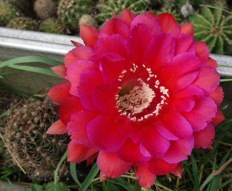 EH Madam Pele Kreuzung, rote Blüte, violette Ränder