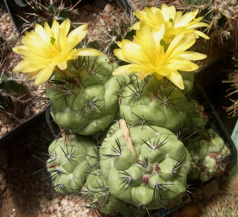 Ortegocactus macdougalii