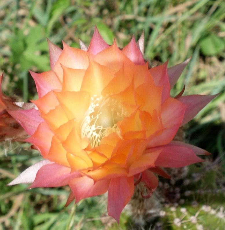 EH Gelb-Orange-Flieder-Duft