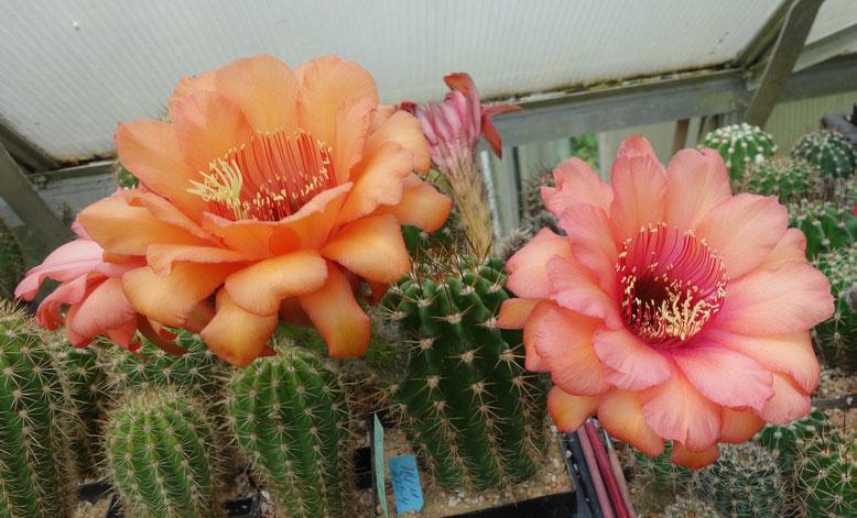 TH , MK 2009-4, Namenlos, Blüten am 1. und 2. Tag