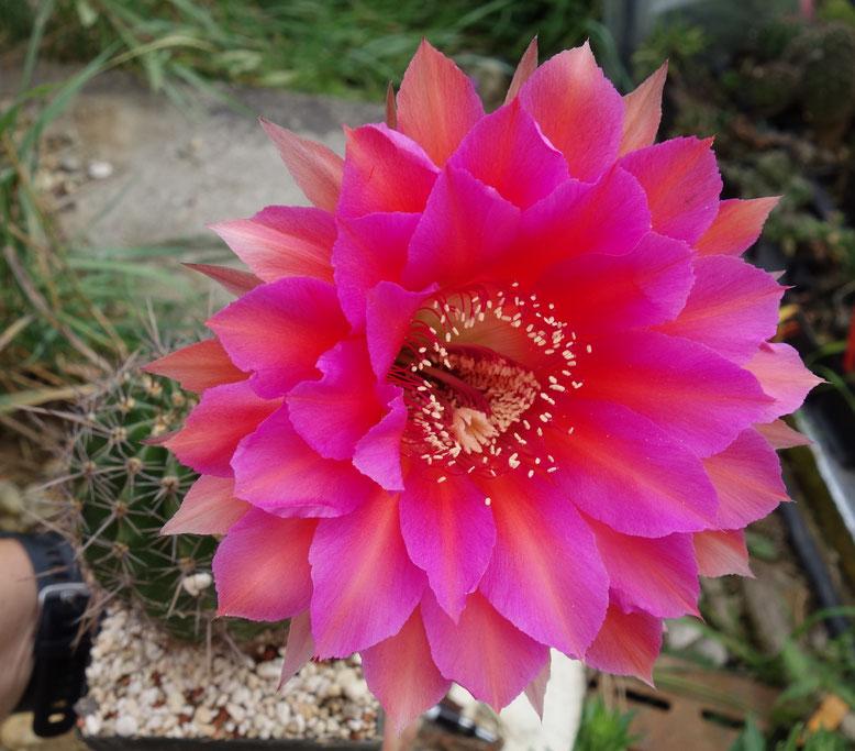 EH Doris x Apricot Kreuzung - riesige Blüte - ähnlich Schick