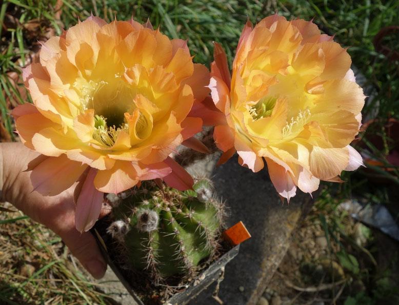 EH JT 1008 3-Color gelb, orange, magenta