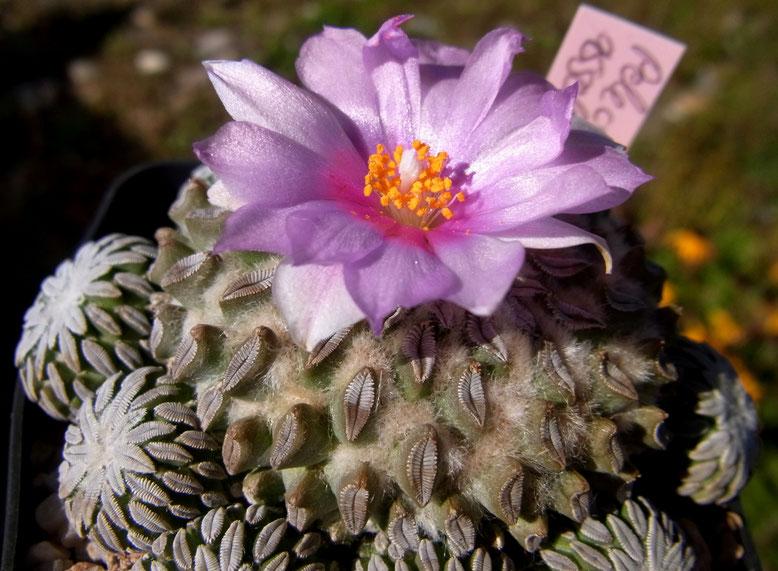 Pelecyphora asseliformis steht südseitig, ganztags Prallsonne, direkt unter Glas.