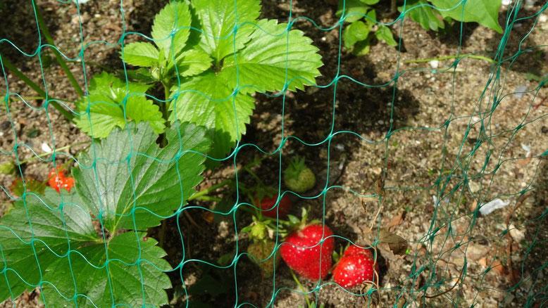 Les fraises commencent à mûrir, le filet est obligatoire si je veux en profiter
