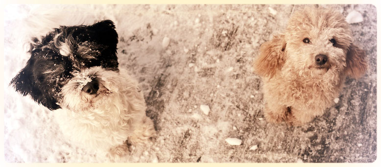 Havaneser und Zwergpudel beim Hundefriseur, Feldkirchen-Westerham, Hundesalon Plisch & Plum