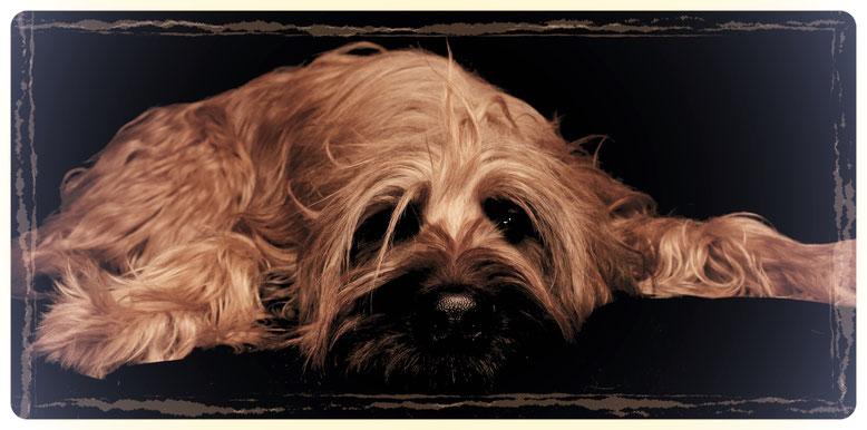 Langhaariger Hund, Briard Fellpflege