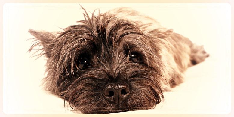 Cairn Terrier, Trimmen, Fellpflege, Hundefriseur, Hundesalon