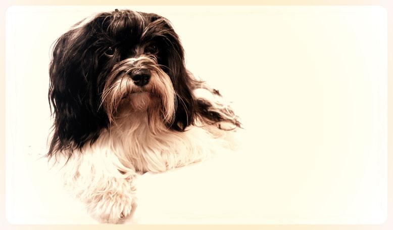 Havaneser, Fellpflege, Hundefriseur, Hundesalon