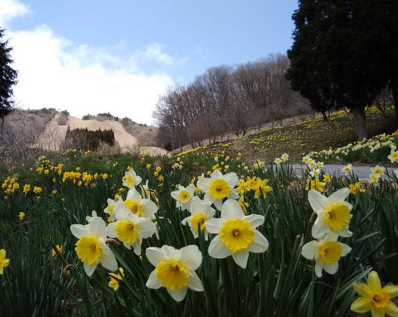 2020年4月中旬。花見山の水仙。