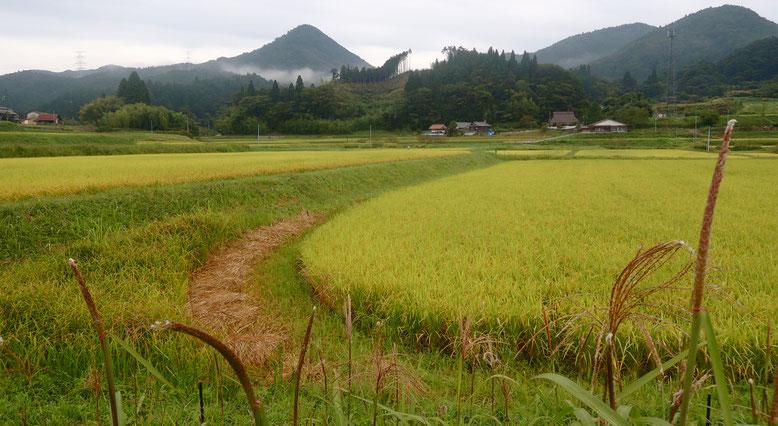 2021年9月12日、一面の黄金色の稲穂、岡山県新見市千屋花見。