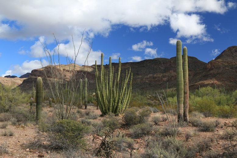 Sonora Wüste. Organ Pipe NP