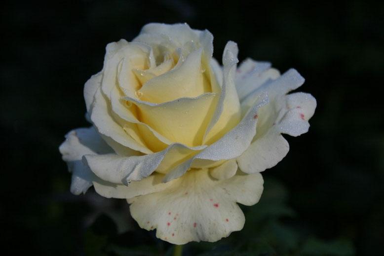 Portland, International Rose Test Garden