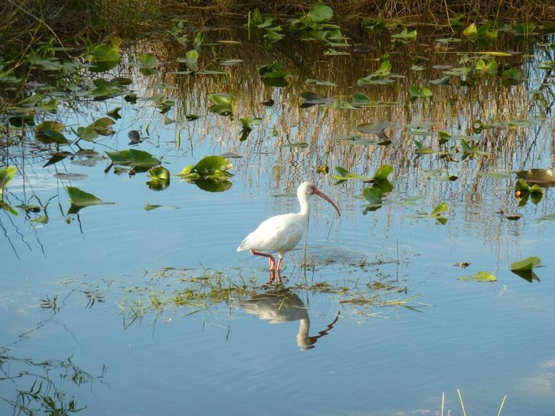 weißer Ibis