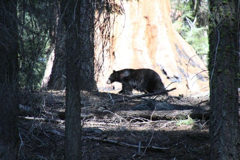 Schwarzbär im Sequoia National Park