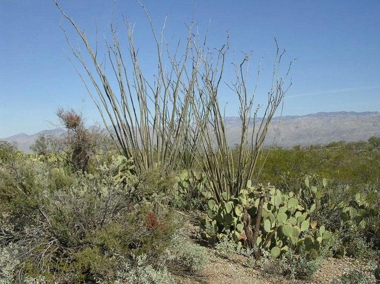 Saguaros NP