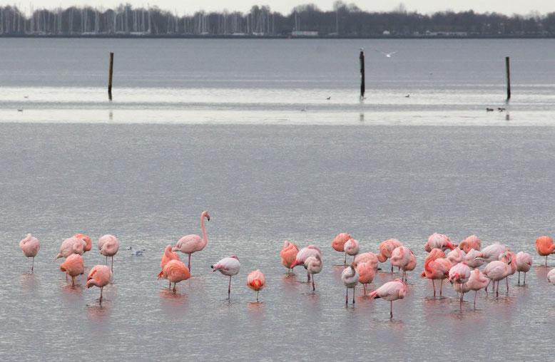 Flamingos am Grevelingenmeer
