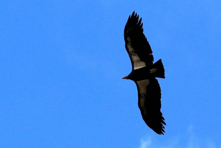 Kalifornischen Kondor