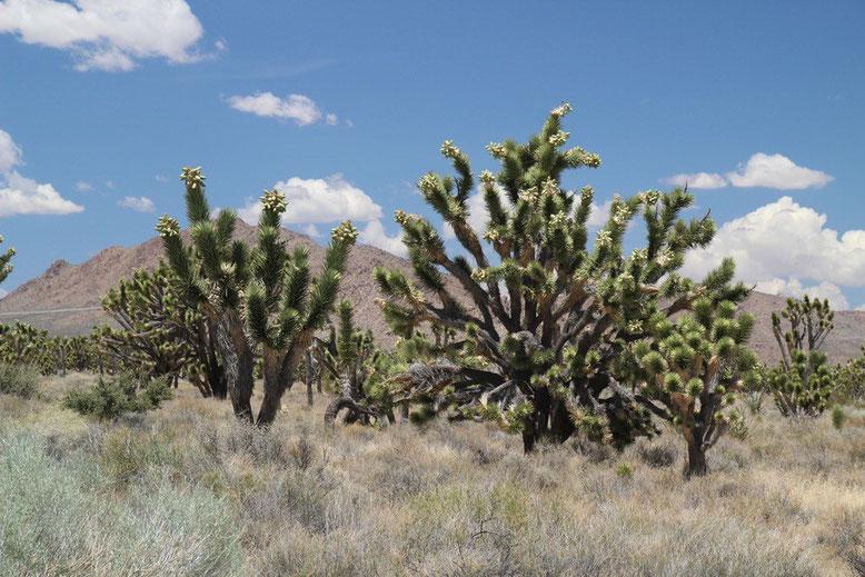 Mojave Desert, Cima Road