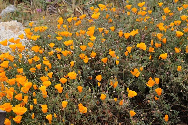 der berühmte California Poppy (Goldmohn).