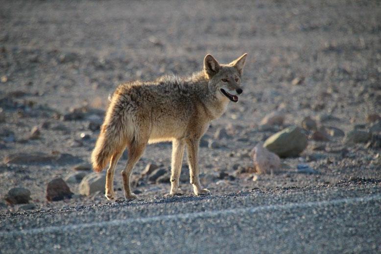 Death Valley, Kojote