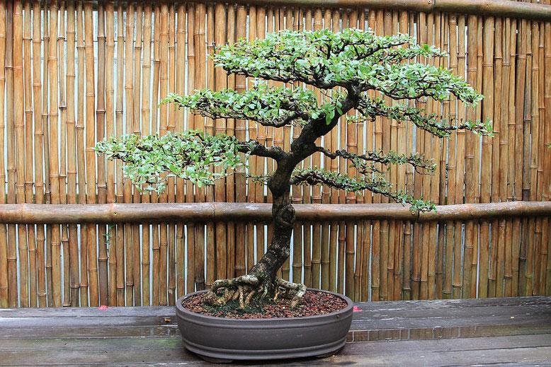 Marie Selby Botanical Gardens, Bonsai