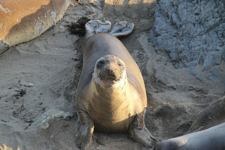 The Piedras Blancas Elephant Seal Rookery