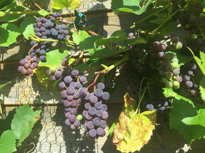 15.09.2015: 2te Rebe sitzt auch voller Trauben - 4-6 Wochen Reife bekommen sie noch, wenn das Wetter passt